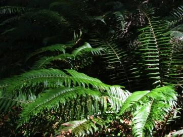 ferns like redwood shade