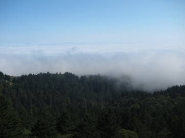 fog lapping at the redwoods
