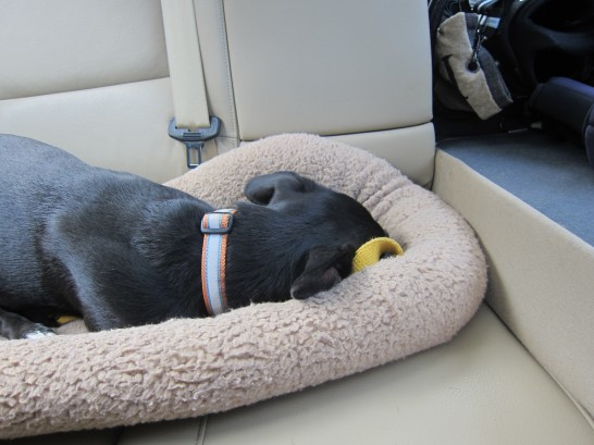 Lucy gets a nap in on the way home